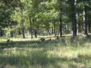Wild Turkeys at Cowpens Battlefield